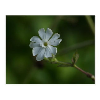 White Campion Wildflower Floral Postcard