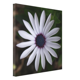 WHITE CAPE DAISY FLOWER Canvas Print