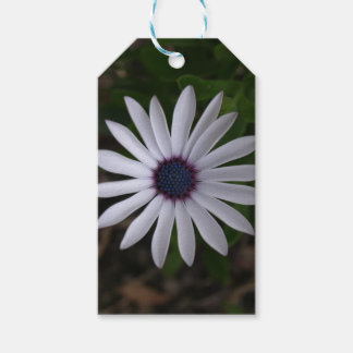 WHITE CAPE DAISY FLOWER Gift Tag