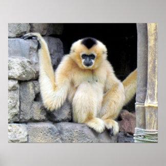 White Cheeked Gibbon (2264) Poster