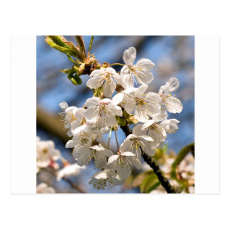 White Cherry bare OM Postcard