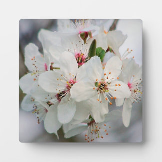 White Cherry Blooms Display Plaques