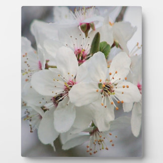 White Cherry Blooms Plaque