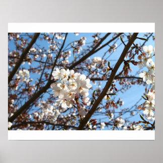 White Cherry Blossom Flowering Tree Art Print