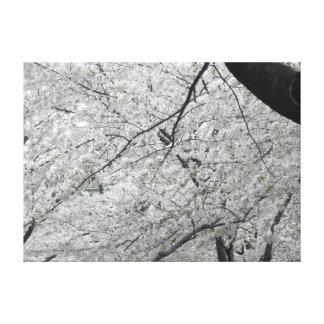 White Cherry Blossoms Canvas Print