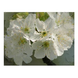 White Cherry Blossoms Postcard