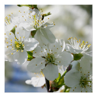 White Cherry Tree Blossoms Poster