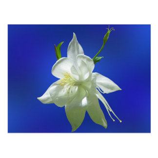 White Columbine on Blue Postcard