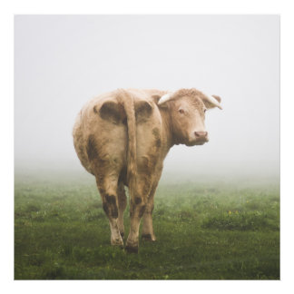 White Cow Bull looking Back in a Foggy Field Photo Print