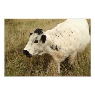 White Cow In Long Grass Photo Print