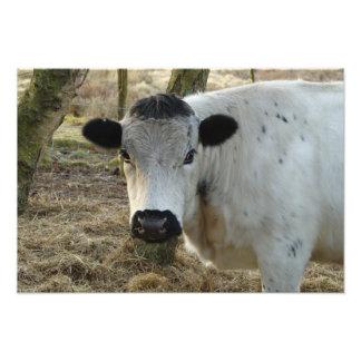 White Cow Portrait Photo