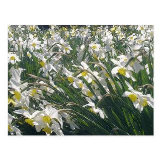 White Daffodils Postcard