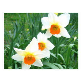White daffodils - Postcard
