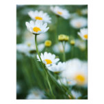 White Daisies in a Field - Customised Daisy Photographic Print
