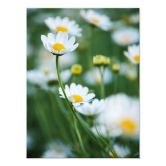 White Daisies in a Field - Customized Daisy Photographic Print