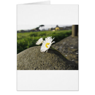White daisies lying on the stone at sunset card
