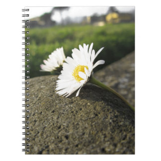 White daisies lying on the stone at sunset notebooks