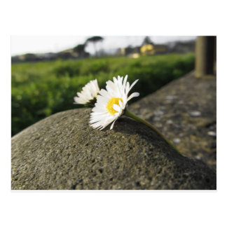 White daisies lying on the stone at sunset postcard