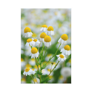 White Daisies Stretched Canvas Prints
