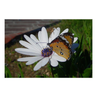 White Daisy and Butterfly Poster