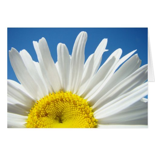 White Daisy Flowers greeting cards Blue Sky