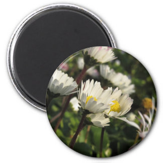 White daisy flowers on green background magnet