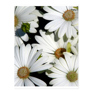 White Daisy Flowers Postcard