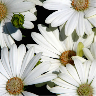 White Daisy Flowers Standing Photo Sculpture