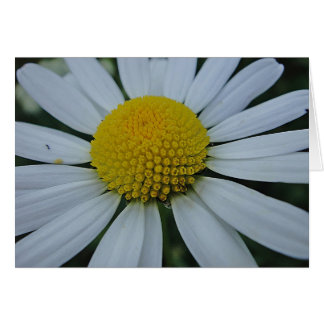 White daisy, greeting map, in blank card