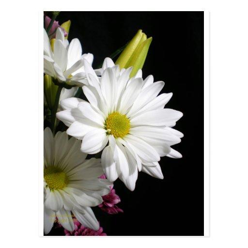 White Daisy Lily Postcard