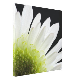 White Daisy on Black Stretched Canvas Prints