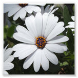 White Daisy's in Bloom Art Photo