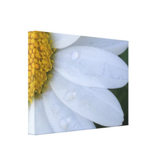 White Dewy Daisy Closeup Canvas Print