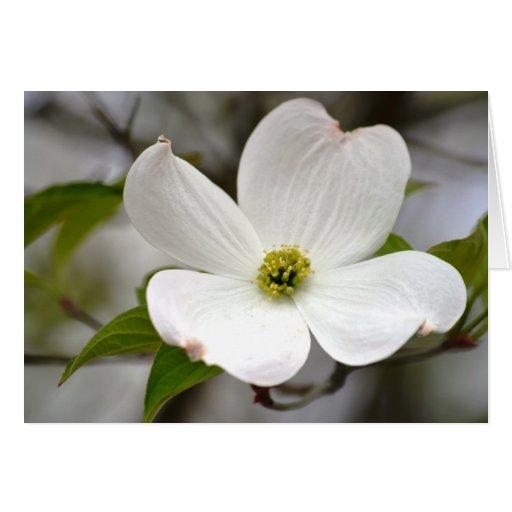 White Dogwood Flower Cards