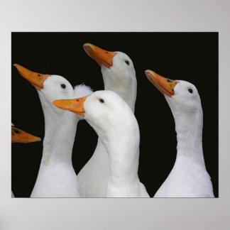 White Ducks Poster