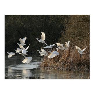 White Egrets Postcard