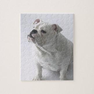White English Bulldog sitting in studio, Jigsaw Puzzle