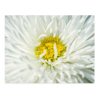 White English Daisy Flower Postcard