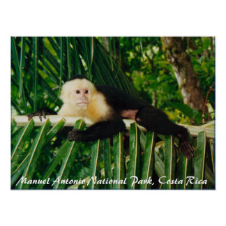 White Face Monkey Costa Rica Poster