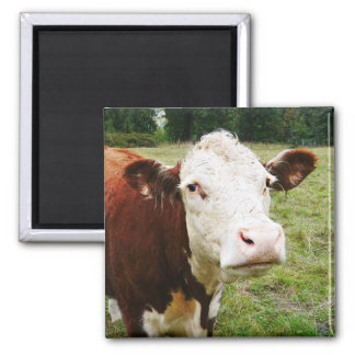 White Faced Beef Cow Square Magnet
