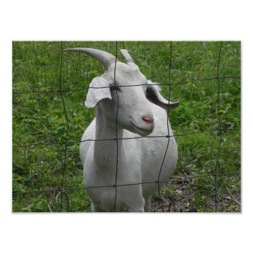White female goat photo print