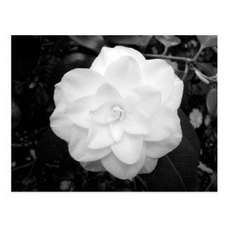 White Flower. (Black and White) Post Cards