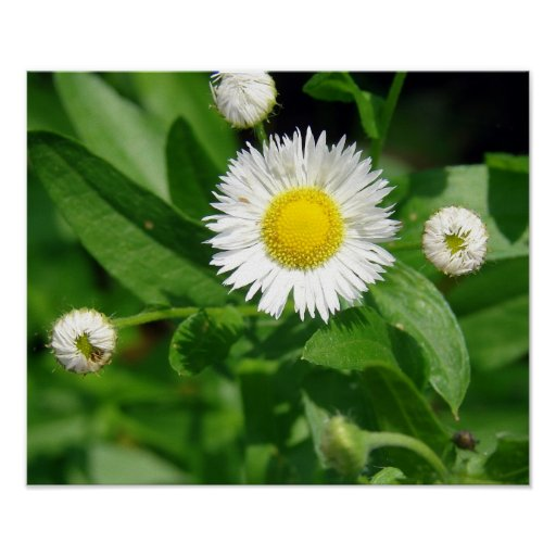 White Flower Weed Posters