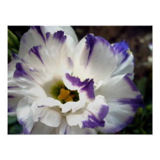 White flower with purple trim poster