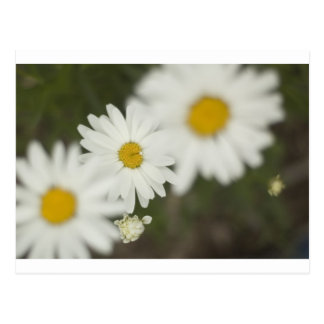 White Floweres Postcard