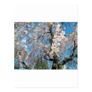 White, Flowering Tree Postcard