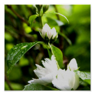 White Flowers after rain Poster