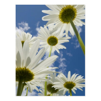 White Flowers, Blue Sky Post Cards