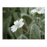 White flowers postcard, Auckland Domain