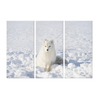 White-fox Canvas Print